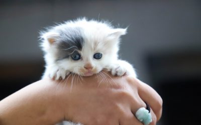 How to Foster Kittens: Resource for Animal Shelters and Animal Rescues